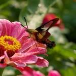 Moth-Hummingbird
