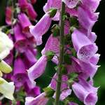 Foxgloves varied colours