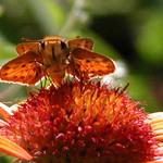 Friendly Moth