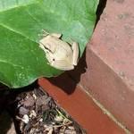 Frog in Rhubarb