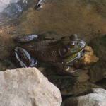 Big Bull Frog