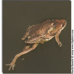 Spring Peepers swimming and mated