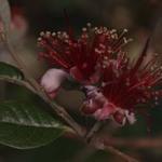 fejoa flowers 3