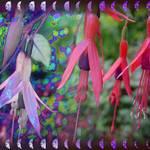 Fuchsias 1