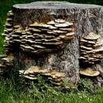 Fungi on Stump