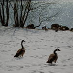 Belle Haven Geese