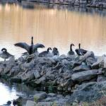Lake Geese