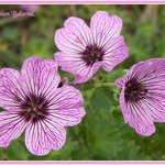 Geranium Ballerina