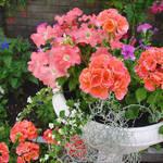 Geraniums Petunias in planter