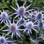 Giant Sea Holly