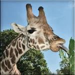 Light snack for a giraffe