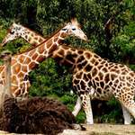 Cris-Cross Giraffes and an Ostrich