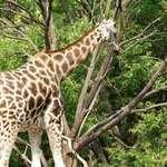 Walkaway Giraffe