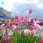 Going away tulips...