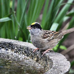 Gold Crowned Sparrow drinking