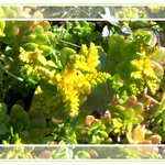 Golden Acre Sedum