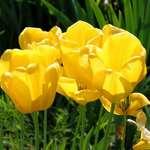 Springtime Gold - Tulips