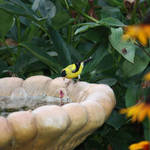 Goldfinch at birdbath
