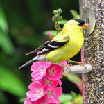 Goldfinch & pink flowers (mallows/sidalceas)