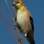 Bluesky Goldfinch