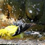 Colourful Droplets - Goldfinch Splashing
