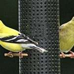 Cute Goldfinch pair