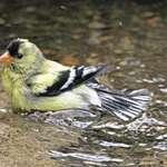 Goldfinch Baby First Bath