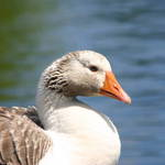 Goose On The Lake- Side