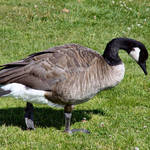 Canada Goose, looking for dinner