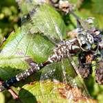 Dragonfly - Gossamer Wings