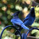 Gossips  - Stellars Jays