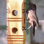 Grackle sampling suet