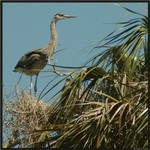 Great Blue Heron by Nest