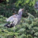 Great Blue Heron gathering nest twigs 2009