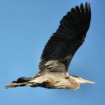 Great Blue Heron May 2008