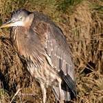 Heron in the wild, showing his cape