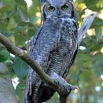 Great Horned Owl in the Wild Sept 06