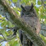 Great Horned Owl Adult 2006, in the wild