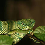 Green Tree Viper