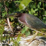 Green Heron near Midway Campground