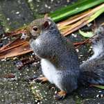 Grey Squirrel nibbling seeds on the patio
