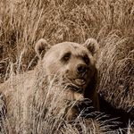 Grizzly in Sepia