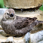 Grosbeak female Black Headed, Bathing