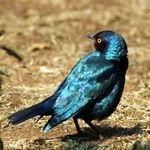 Glossy Starling