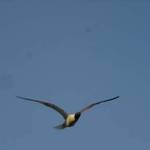Flyin Gull