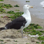 Large Gull