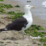 Large Gull