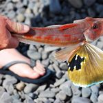 Gurnard
