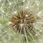 Overgrown dandelion