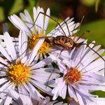 Harvestman on Asters